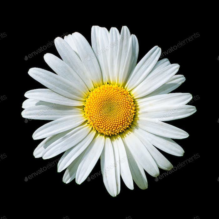 Blooming white daisy flower isolated on black