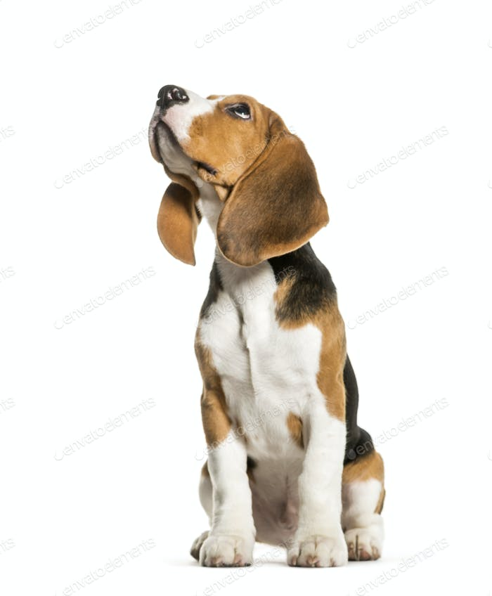Sitting beagle looking up in front of white background