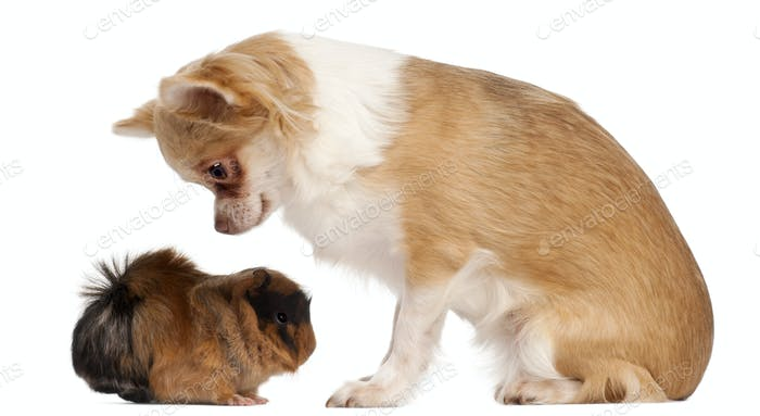 Chihuahua looking at guinea pig in front of white background