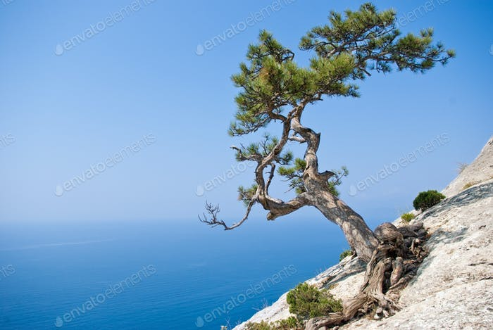 Lone fir tree at edge of the cliff