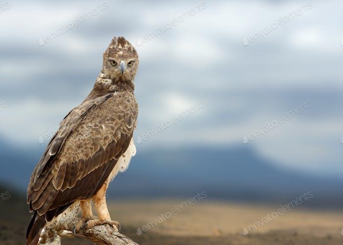 Tawny Adler (Aquila rapax) sitzt auf einem Ast Baum, Afrika, Ken