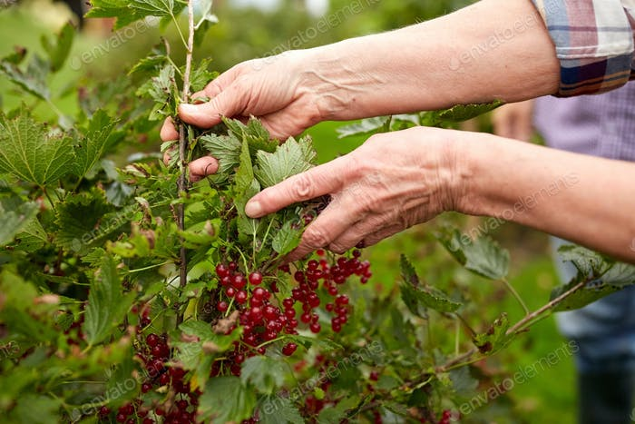 senior woman with red currant at summer garden