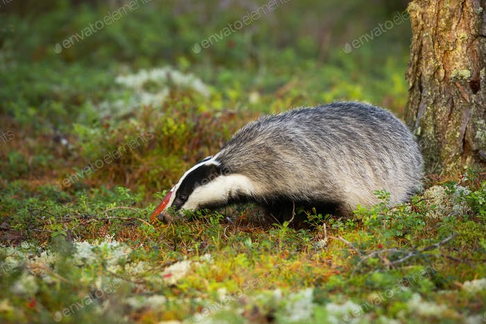 Curious european badger sniffing around fly agaric and mountain cranberries
