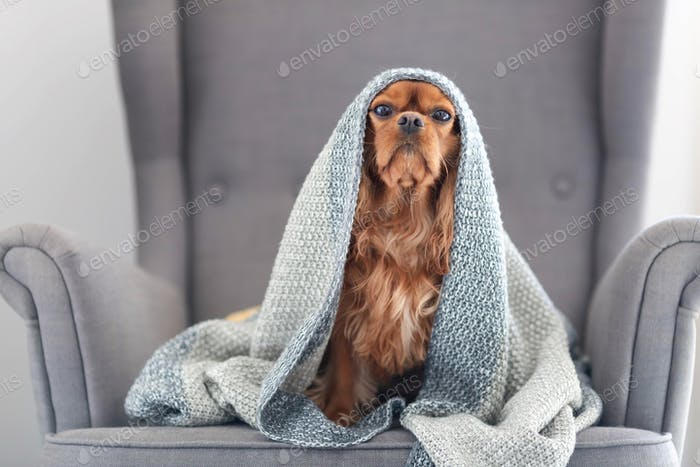 Funny dog under the gray blanket