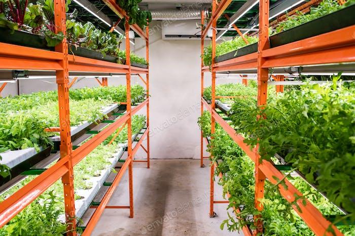 Gang zwischen großen Regalen mit grünen Sämlingen von Gartenbaupflanzen