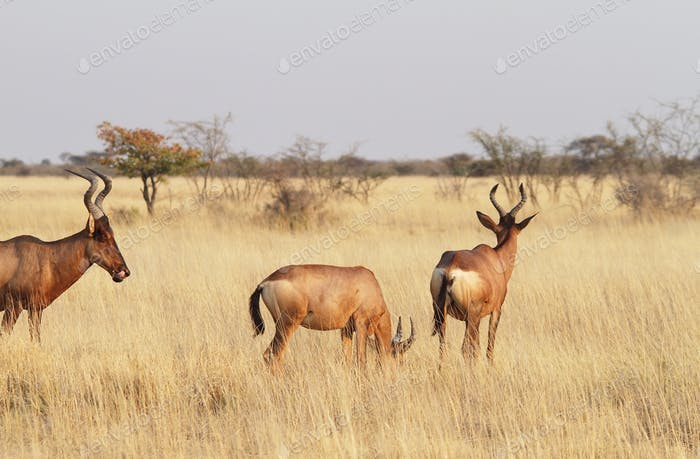 Small group of red hartebeest (Alcelaphus caama)