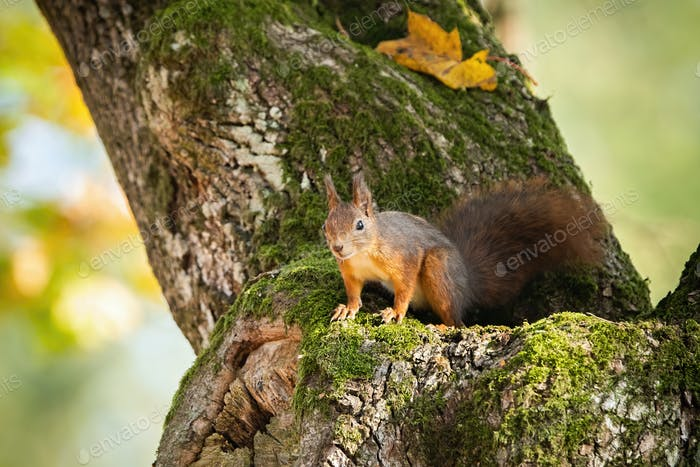 Rotes Eichhörnchen Blick von einem Baum im Herbst mit Kopierraum