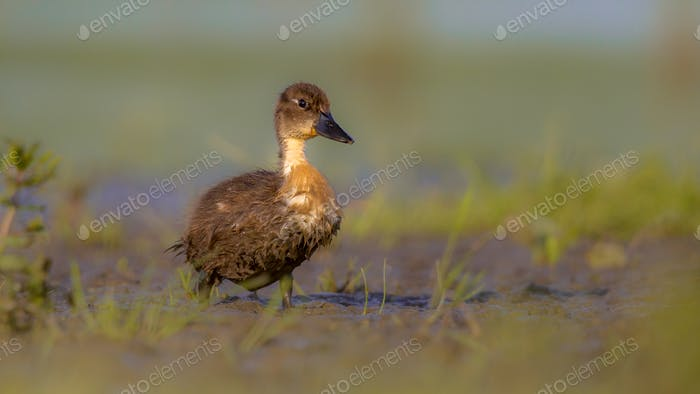 Cute duckling running through grass