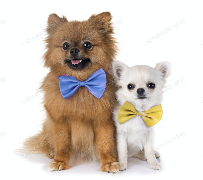 pomeranian and chihuahua