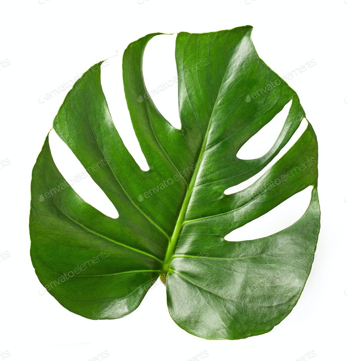 Tropical leaf of Monstera plant