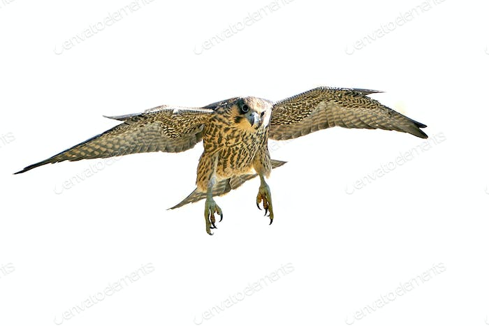 Juvenile Peregrine falcon (Falco peregrinus) in flight isolated on a white background