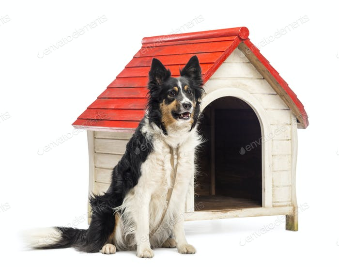 Border Collie tied next to a kennel and looking away against white background
