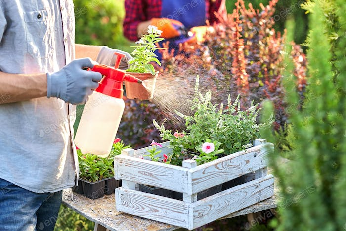 Guy gardener in garden gloves sprays water on the pots with seedlings in the white wooden box on the