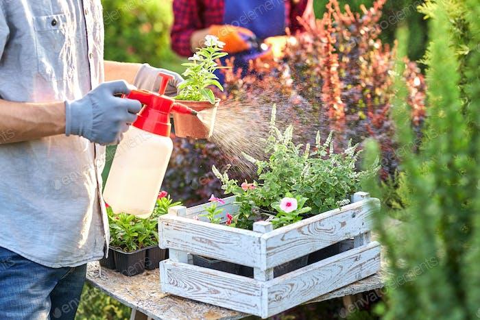Guy Gärtner in Gartenhandschuhen sprüht Wasser auf die Töpfe mit Sämlingen in der weißen Holzkiste auf der