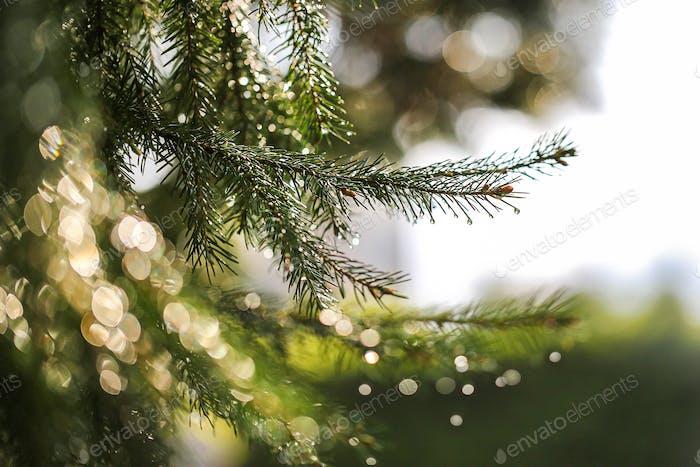Coniferous tree after rain
