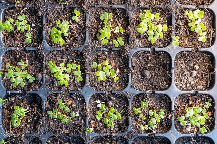 Overhead view of germinated vegetable on germination planter tray filled with compost soil