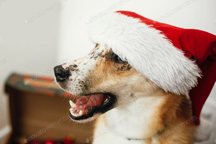 Cute dog in santa hat with adorable eyes and funny emotions sitting in festive room