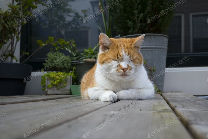 Relaxed sleeping red and white cat