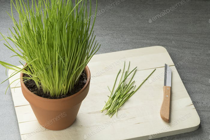 Terracotta  pot with fresh chives