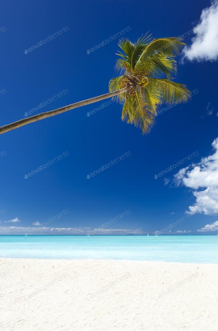 Slanted Palm Tree At Caribbean Beach, Antigua