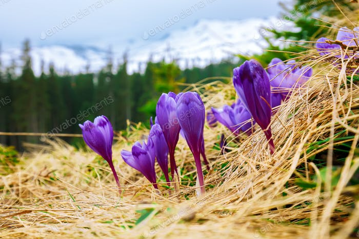 Spring mountain landscape with violet crocuses blooming on the meadow
