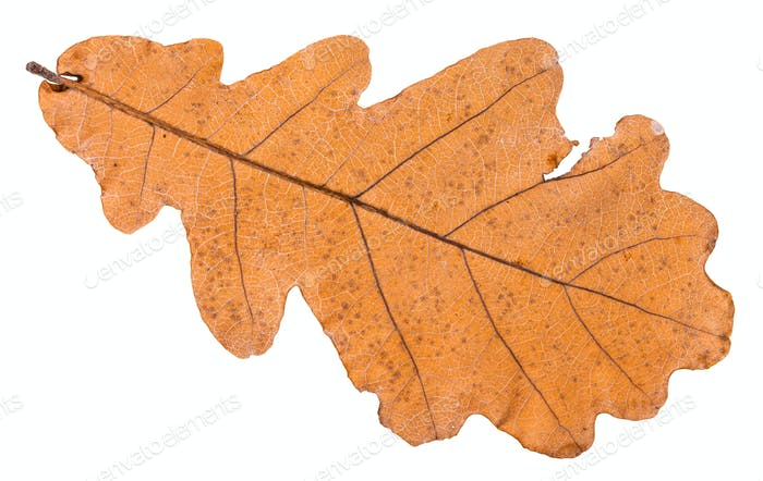 back side of autumn dried leaf of oak tree