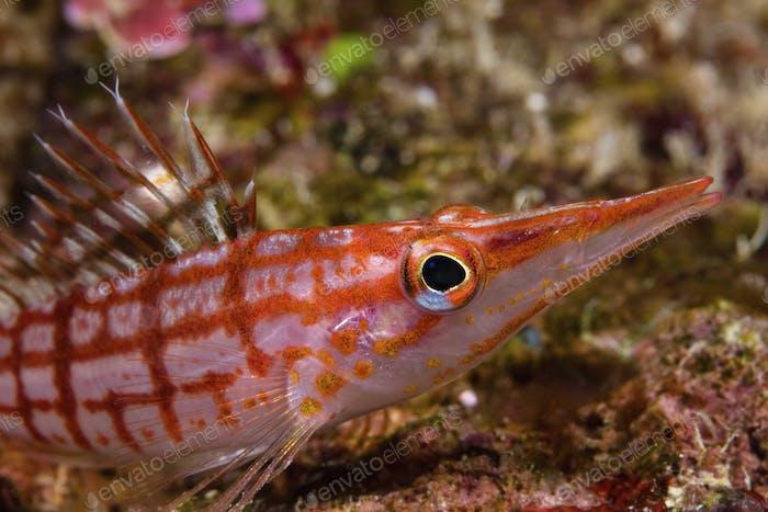 Curious glance of a Longnose hawkfish (Oxycirrhites typus) underwater