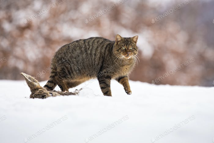 European wildcat walking on snow in winter nature