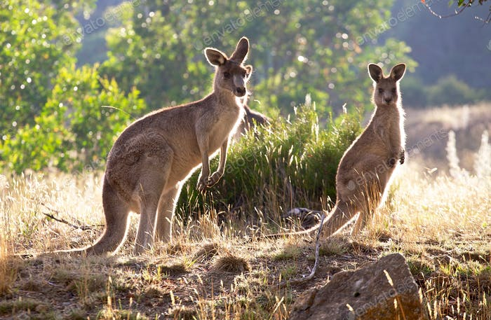 Kangaroos at sunrise (1)