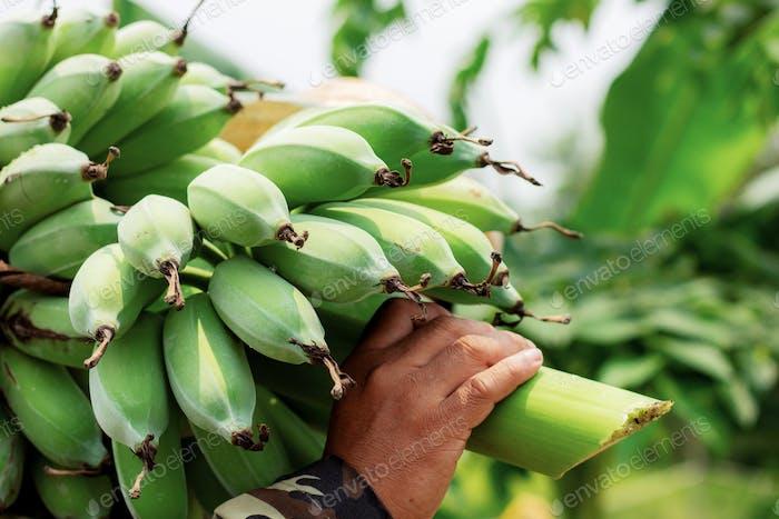Gärtner tragen Banane