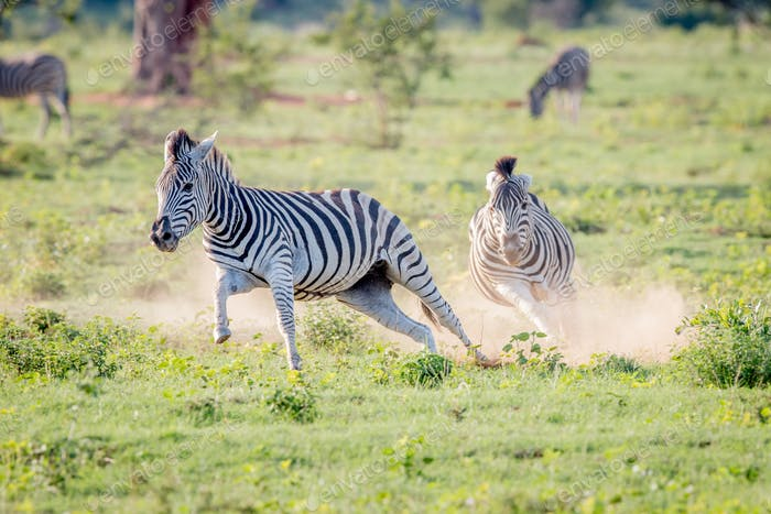 Two Zebras running in the grass.