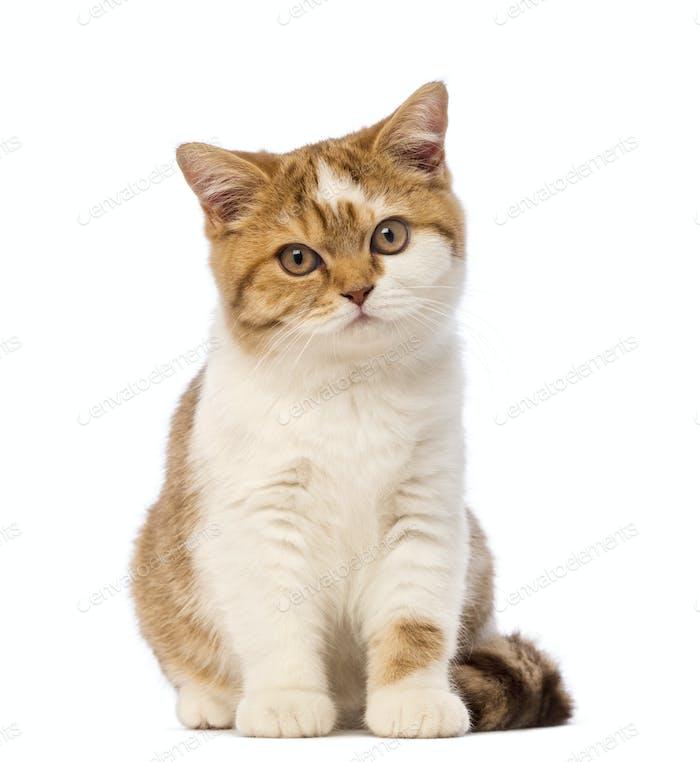 British Shorthair kitten, 3.5 months old