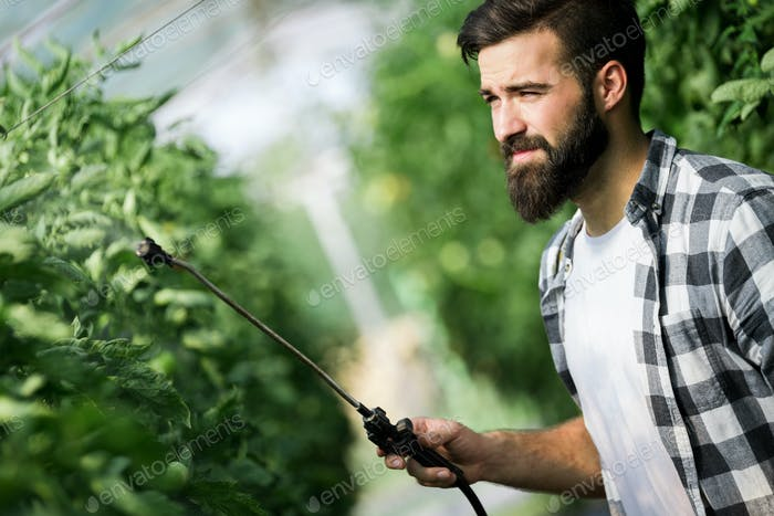 Man spraying tomato plant in greenhouse