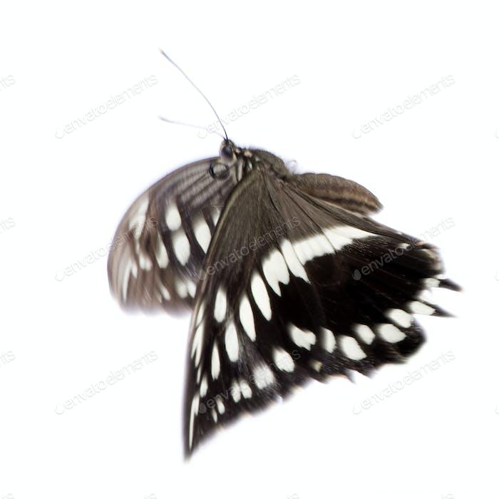 Hypolimnas bolina butterfly