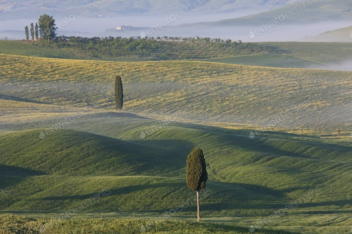 Rolling landscape dotted with cypress trees at dawn.