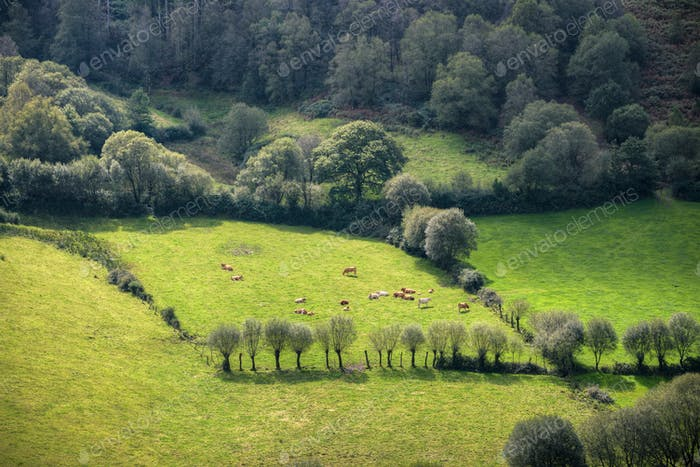 A herd of cows basking in the sun on a green pasture