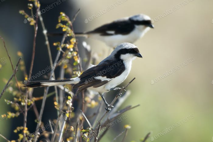 Grey-backed Fiscal, Lanius excubitoroides, in Serengeti National Park, Tanzania, Africa