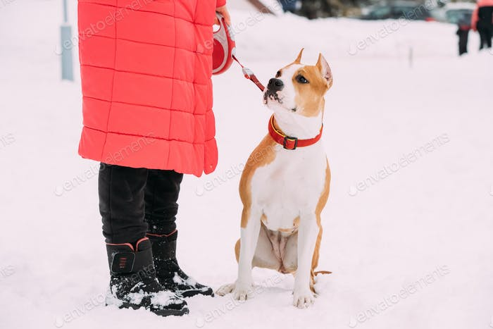 Dog American Staffordshire Terrier Standing In Snow Near Woman F