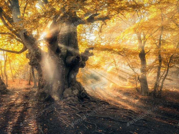 Magical autumn forest with sun rays in the evening