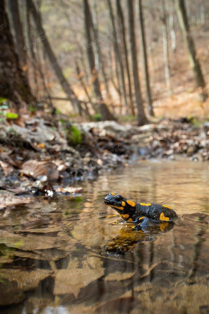Bezaubernder Feuersalamander ruht im flachen Wasser an einem sonnigen Frühlingstag