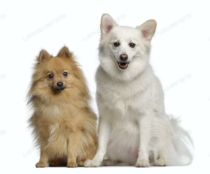 Two Spitz, 1 and 3 years old, sitting next to each other, isolated on white