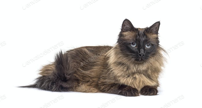 Brown lying down Crossbreed cat, isolated