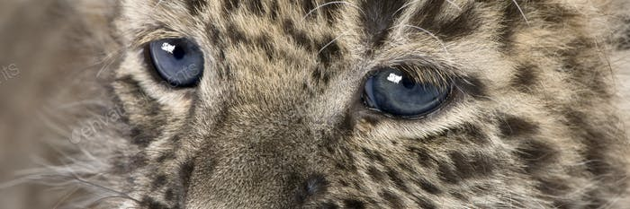 close-up on a Persian leopard Cub (6 weeks)
