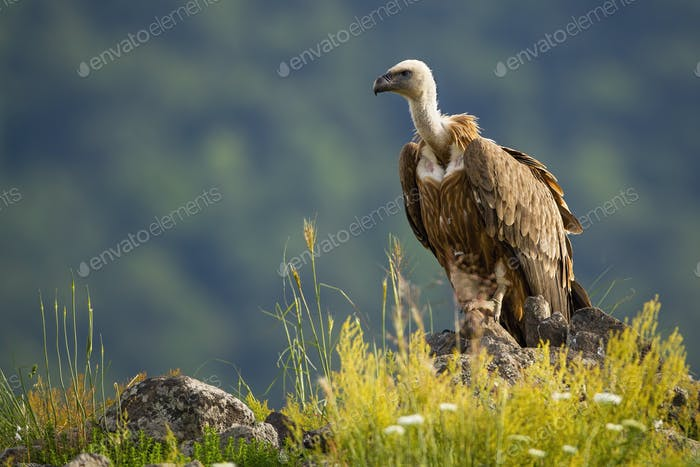 Solitary griffon vulture sitting on a rocky mountain peak in summer nature