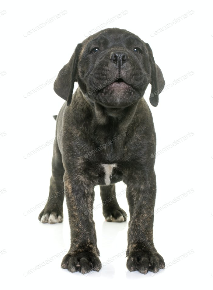 puppy bull mastiff barking