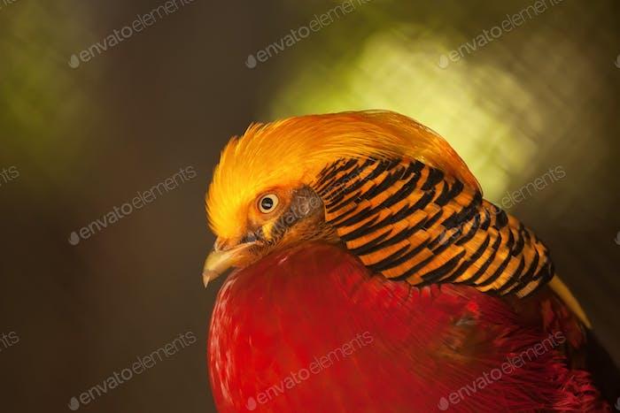Golden Pheasant or Chrysolophus pictus