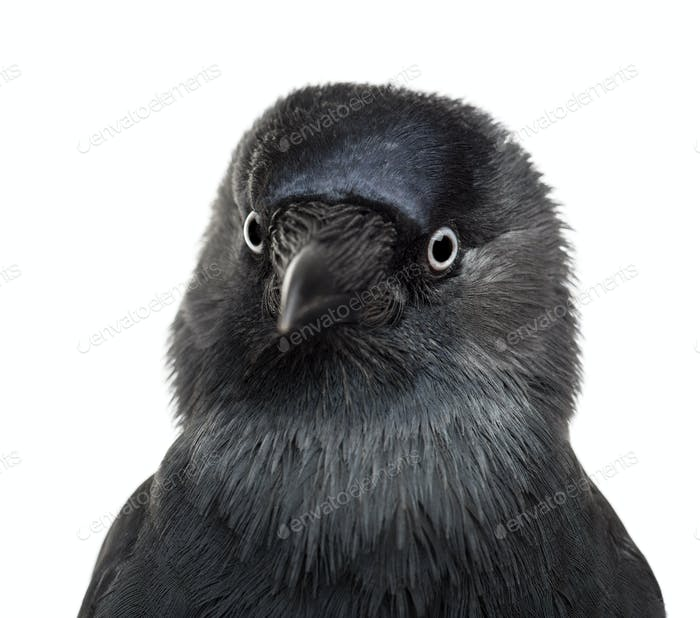 Close-up Western Jackdaw, Corvus monedula, (or Eurasian Jackdaw, or European or simply)