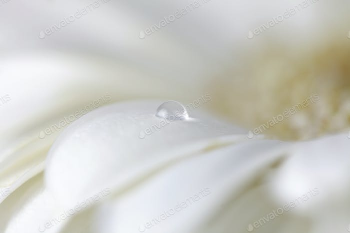 Chamomile flower with water drops. Made with lens-baby and macro-lens. Soft focus.