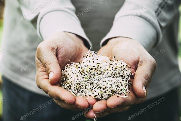 Alfa sprouts