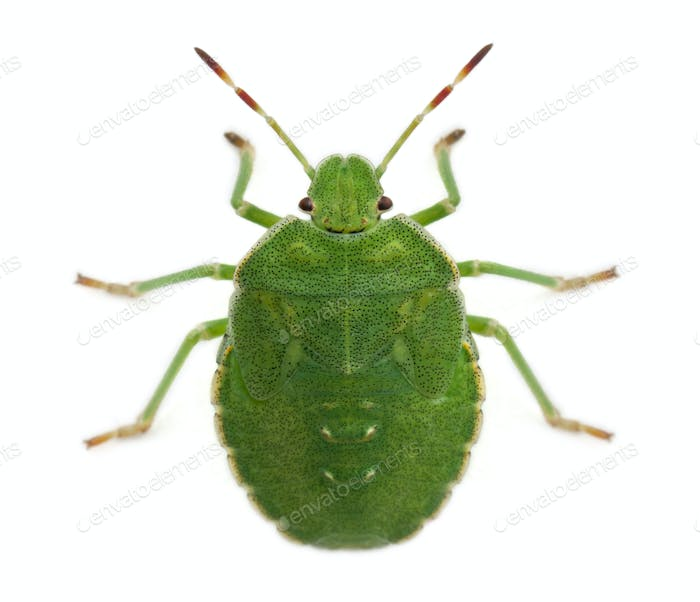 High angle view of a Green shield bug, Palomena prasina, in front of white background